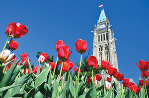The Canadian Tulip Festival's nine-mile tulip route winds throughout Ottawa and Gatineau, highlighting major tulip beds and attractions.